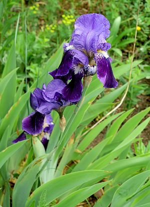 Iris aphylla - Image: Iris aphylla Orchi 145