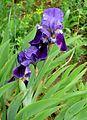 Iris aphylla Orchi 145.jpg