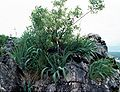 Iris pseudopallida Montenegro.JPG