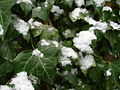 Ivy with snow -Geograph-1647880-by-Ian-Paterson.jpg