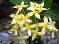Ixora flower yellow.JPG