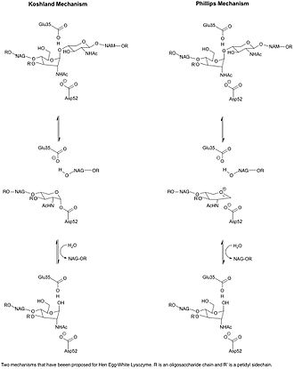Lysozyme - Two Possible Mechanisms of Lysozyme