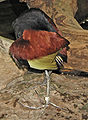 Jacana jacana flight feathers.jpg