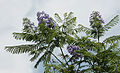 Jacaranda mimosifolia 3998.jpg