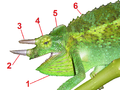 Jacksons Chameleon crests tagged.png