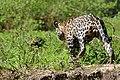 Jaguar (Panthera onca) male following a female ... (28554490133).jpg