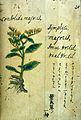 Japanese Herbal, 17th century Wellcome L0030061.jpg