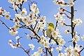 Japanese White-Eye in the plum blossom; 2009.jpg