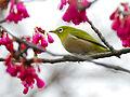 Japanese Wite-Eye in the Cherry Blossom.jpg
