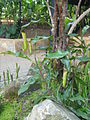 Jardin Botanico de Medellin-Planta carnívora (3).JPG
