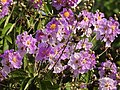 Jarul Flower Lagerstroemia speciosa by Dr. Raju Kasambe DSCN8917 (2).jpg