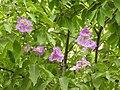Jarul flowers Lagerstroemia speciosa DSCN8774 (3).jpg