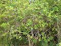Jasminum odorotissimum 3c.JPG
