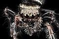 Jumping spider, U, Face, Upper marlboro 2013-08-02-15.51.47 ZS PMax (9428373071).jpg