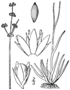 Juncus marginatus BB-1913.png
