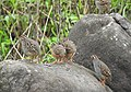 Jungle Bush Quail Perdicula asiatica by Dr. Raju Kasambe DSCN7340 (3).jpg