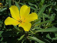 Jussiaea grandiflora