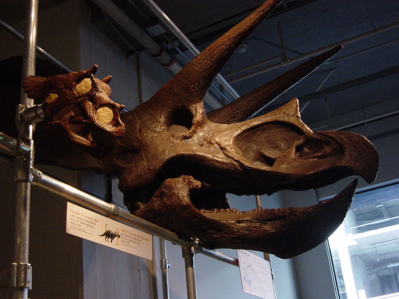 Fitxer:Juvenile and adult Triceratops skulls.jpg