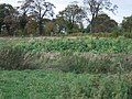 Kale sown on a field edge - geograph.org.uk - 598990.jpg