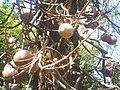 Kalebassenbaum.jpg
