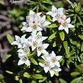 Kalmia procumbens (flower).jpg