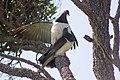 Kererū New Zealand Pigeons Mating (2 of 4).jpg