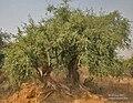 Khabbar (Salvadora oleoides), Hodal (Faridabad, Haryana) I IMG 1194.jpg