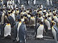 King Penguins, Macquarie Island.jpg