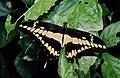 King Swallowtail (Papilio thoas) (36654459670).jpg