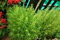 Kochia aka Fire bush 7127.JPG
