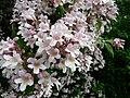 Kolkwitzia amabilis Périgueux fleurs (1).jpg