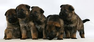English: Sable Puppies