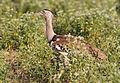 Kori bustard, Ardeotis kori, at Mapungubwe National Park, Limpopo, South Africa (18134007791).jpg