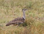 Kori bustard, Ardeotis kori, at Pilanesberg National Park, Northwest Province, South Africa (16922513206).jpg