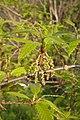 Korina 2011-04-26 Quercus libani 1.jpg