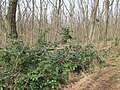Korina 2013-03-18 Mahonia aquifolium 13.jpg