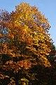 Korina 2013-10-22 Quercus rubra 2.jpg