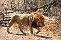 Krugerův park - lev - panoramio.jpg