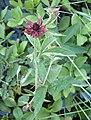 Kurjenjalka Potentilla palustris VI08 C H5500.jpg
