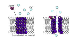 Ligand-gated ion channel type of ion channel transmembrane protein