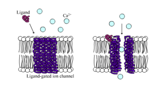 Membrane potential - Ligand-gated calcium channel in closed and open states
