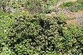 La Palma - San Andrés y Sauces - Barranco del Agua + Calle Los Tilos - Eriobotrya japonica 02 ies.jpg