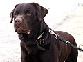 Labrador Retriever Chocolate Brown Portrait - Sam.jpg