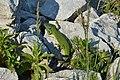 Lacerta viridis at Mali lag, Botevgrad 02.jpg
