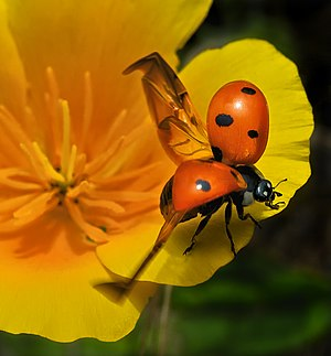 Sierra Club - Ladybug, Ready for Takeoff – Grand Prize Winner in the Sierra Club's April 2010 Trails Photo Contest
