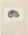 Lagidium cuvierii - 1700-1880 - Print - Iconographia Zoologica - Special Collections University of Amsterdam - UBA01 IZ20600155.tif