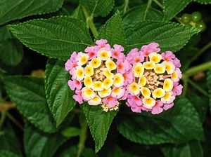 Flowers and leaves of Lantana camara