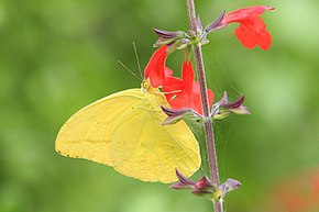 Description de l'image Large orange sulphur (Phoebis agarithe) male ventral.jpg.
