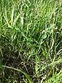 Lathyrus aphaca sl81.jpg