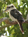 Laughing Kookaburra (Dacelo novaeguineae) 2c.jpg